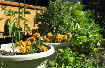 Peppers, marigolds and other plants growing in pots